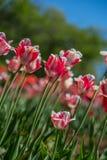 郁金香花在城市公园 免版税库存照片