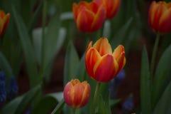 郁金香花在庭院里开花 库存图片