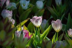 郁金香花在庭院里开花 免版税库存图片