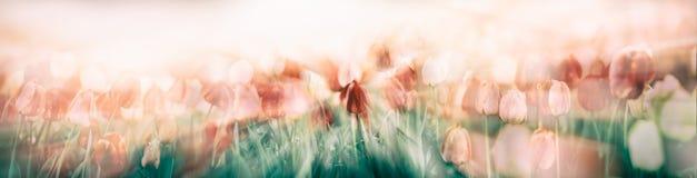郁金香花在庭院里 免版税库存图片