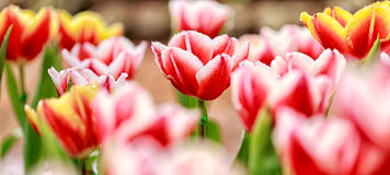 郁金香花在庭院里 图库摄影