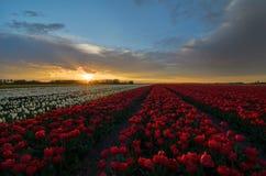 郁金香花在荷兰 免版税库存图片
