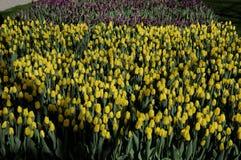 郁金香花在TIVOLI庭院里 免版税库存图片
