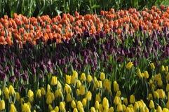 郁金香花在TIVOLI庭院里 免版税库存照片