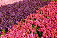 郁金香花在TIVOLI庭院里 图库摄影