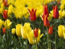 郁金香花堆 库存照片