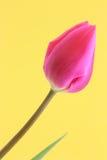 郁金香花复活节/母亲卡片材料的照片 库存照片