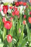 郁金香花春天绽放在庭院里 免版税库存照片