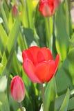 郁金香花春天绽放在庭院里 图库摄影