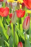 郁金香花春天绽放在庭院里 免版税图库摄影
