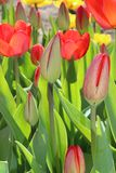 郁金香花春天绽放在庭院里 免版税库存图片
