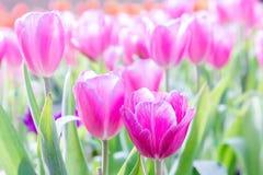 郁金香花有在郁金香领域的绿色叶子背景在冬天或春日明信片秀丽装饰设计的 免版税库存照片