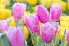 郁金香花有在郁金香领域的绿色叶子背景在冬天或春日明信片秀丽装饰设计的 库存照片