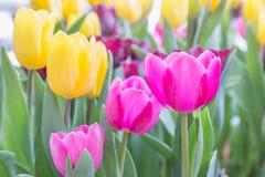 郁金香花有在郁金香领域的绿色叶子背景在冬天或春日明信片秀丽装饰设计的 免版税图库摄影