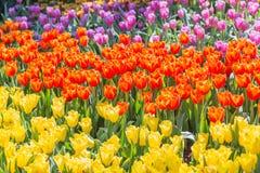 郁金香花有在郁金香领域的绿色叶子背景在冬天或春日明信片秀丽装饰设计的 免版税库存图片
