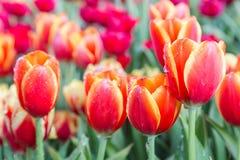 郁金香花有在郁金香领域的绿色叶子背景在冬天或春日明信片秀丽装饰设计的 库存图片
