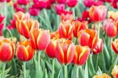郁金香花有在郁金香领域的绿色叶子背景在冬天或春日明信片秀丽装饰设计的 图库摄影