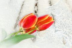 郁金香花束在一条多雪的长凳的 免版税库存图片