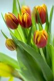 郁金香花束细节,装饰春天开花,在绽放的黄色红色头状花序与叶子 库存照片