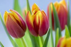 郁金香花束细节,装饰春天开花,在绽放的黄色红色头状花序与叶子 免版税库存照片