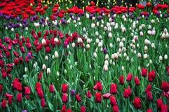 郁金香花束 五颜六色的郁金香 郁金香在春天,五颜六色的郁金香 库存图片