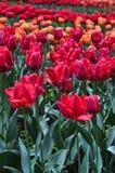郁金香花束 五颜六色的郁金香 郁金香在春天,五颜六色的郁金香 库存照片