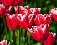 郁金香花特写镜头在开花的 免版税库存照片