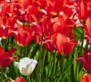 郁金香花特写镜头在开花的 库存照片