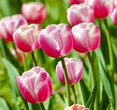 郁金香花特写镜头在开花的 库存图片