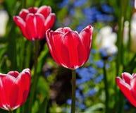 郁金香花特写镜头在开花的 图库摄影