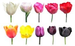 郁金香花的颜色品种  色板显示是颜色变化的例子在郁金香花上的 库存图片