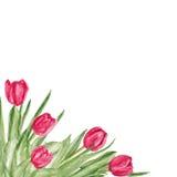 郁金香花水彩在白色背景隔绝的油漆例证 传染媒介手拉的装饰框架,花卉 免版税库存照片
