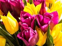 郁金香荷兰黄色和紫罗兰色 库存照片