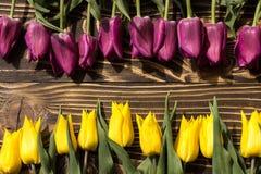 郁金香荷兰黄色和紫罗兰色 免版税库存照片