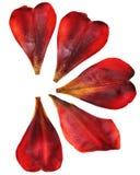 郁金香透视,干燥精美黄色,红色,橙色花和 免版税库存图片