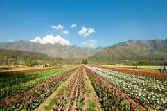 郁金香领域在克什米尔,印度 免版税库存图片