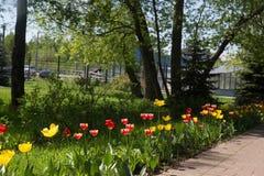 郁金香领域在公园 免版税库存照片