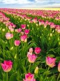 郁金香领域在春天 免版税库存照片
