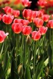 郁金香领域在春天 图库摄影