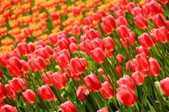 郁金香领域在春天 免版税库存图片