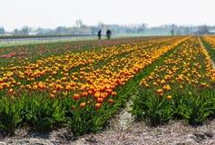 郁金香领域在荷兰乡下 免版税库存照片