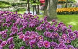 郁金香领域在Keukenhof庭院里,利瑟,荷兰 库存照片