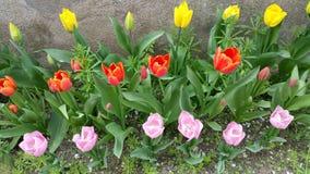 郁金香,桔子和黄色边界在桃红色的 库存照片