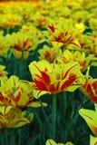 郁金香,逗人喜爱的郁金香的领域 图库摄影