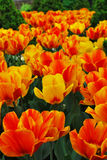 郁金香,逗人喜爱的郁金香,五颜六色的郁金香的领域 免版税库存照片
