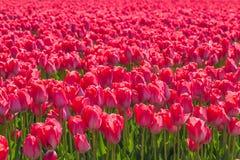 郁金香 五颜六色的庭院郁金香 图库摄影