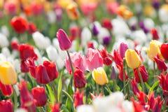 郁金香 五颜六色的庭院郁金香 库存图片