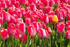 郁金香 五颜六色的庭院郁金香 免版税库存图片