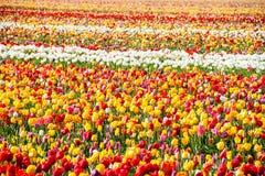 郁金香 五颜六色的庭院郁金香 免版税图库摄影