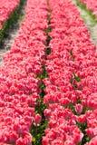 郁金香 五颜六色的庭院郁金香 免版税库存照片